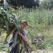 Cutting Sorghum